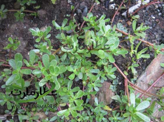 خرفه، خواص عجیب آن و نحوه استفاده از این گیاه دارویی