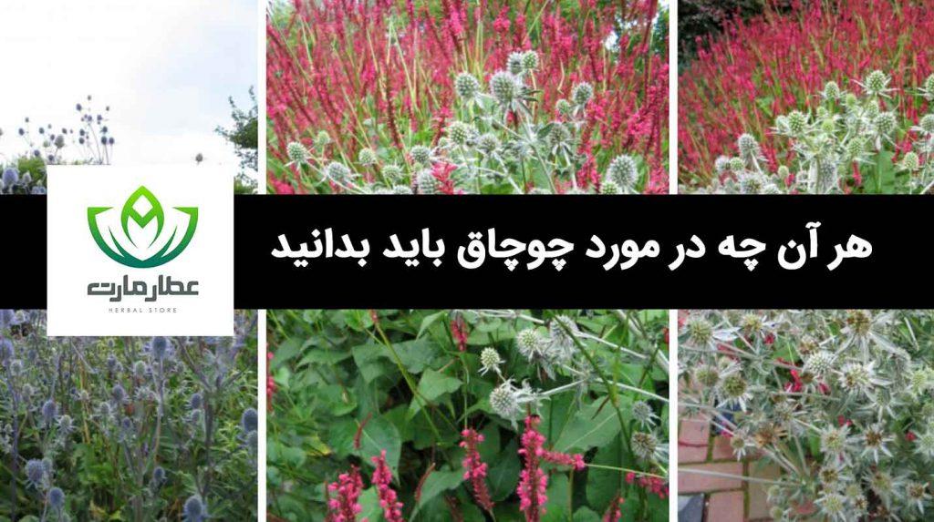 چوچاق، هر آن چه در مورد این گیاه دارویی باید بدانید