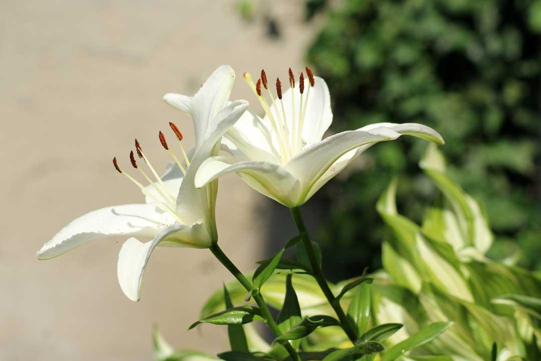 بهبود قاعدگی با گیاه قاعده آور سوسن سفید